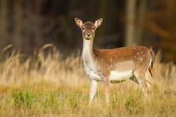 Alert fallow deer, dama dama, hind looking into camera on a meadow with forest in background. Attentive female animal observing in natural environment with dry yellow grass from side view.