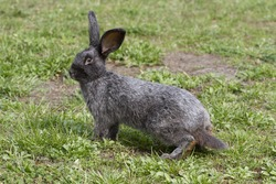 Alert gray rabbit on a green lawn saw the danger.