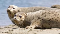 Alert Harbor Seals looking at camera sensing danger and ready to jump into water. Moss Landing, Monterey County, California, USA.