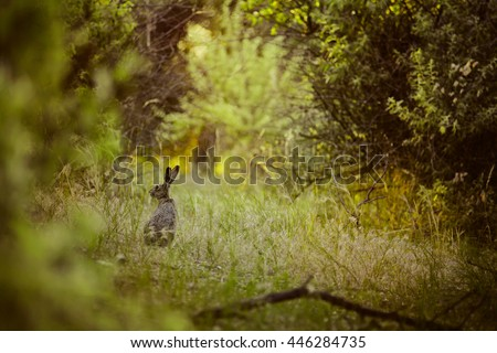 alert hare in sunny summer morning forest at sunrise. Grey rabbit (Lepus europaeus) in evening in wood in the rays of light of sunset
