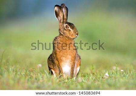 Alert Hare (Lepus europeus) Сток-фото ©
