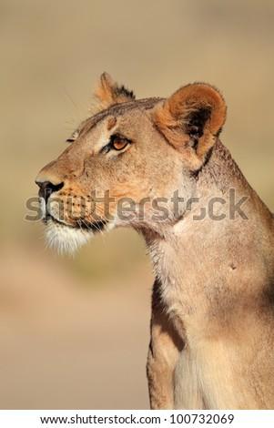 Alert lioness (Panthera leo), Kalahari desert, South Africa