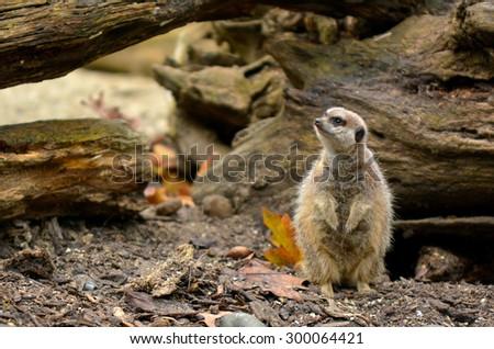 Stock Photo Alert Meerkat (Suricata suricatta) listen to ambient sound in Semi-arid plain.