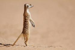 Alert meerkat (Suricata suricatta) standing on guard, Kalahari desert, South Africa