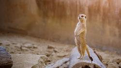 Alert meerkat (Suricata suricatta) standing on timber, African native animal, small carnivore belonging to the mongoose family.
