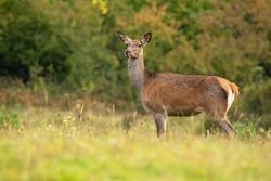 Alert red deer, cervus elaphus, looking om meadow in autumn nature. Attentive hind looking on field in fall. Wild brown mammal listening on green pasture.
