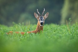 Alert roe deer, capreolus capreolus, buck grazing hidden on clover field in summer. Attentive mammal looking into camera in green nature with copy space. Wild animal listening in countryside.