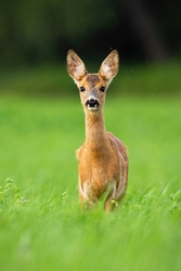 Alert roe deer, capreolus capreolus, fawn standing in green grass and looking in camera with flies and mosquito flying around in summer nature. Animal wildlife in wilderness.