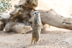 Alert South African meerkat  standing on guard (Suricate)