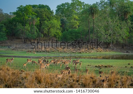 Alert Spotted deer herd after an alarm call by a sambar deer in rajbaug lake at Ranthambore National Park, India #1416730046