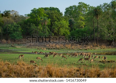 Alert Spotted deer herd after an alarm call by a sambar deer in rajbaug lake at Ranthambore National Park, India #1416730049