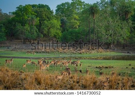 Alert Spotted deer herd after an alarm call by a sambar deer in rajbaug lake at Ranthambore National Park, India #1416730052