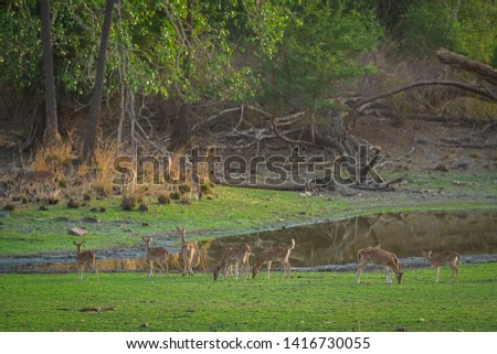 Alert Spotted deer herd after an alarm call by a sambar deer in rajbaug lake at Ranthambore National Park, India #1416730055
