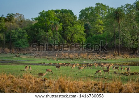 Alert Spotted deer herd after an alarm call by a sambar deer in rajbaug lake at Ranthambore National Park, India #1416730058
