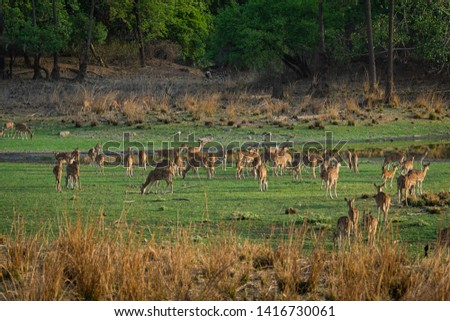 Alert Spotted deer herd after an alarm call by a sambar deer in rajbaug lake at Ranthambore National Park, India #1416730061