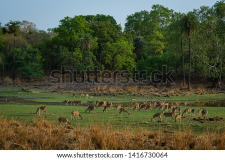 Alert Spotted deer herd after an alarm call by a sambar deer in rajbaug lake at Ranthambore National Park, India #1416730064