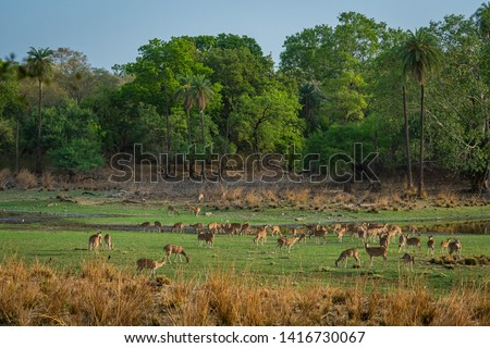 Alert Spotted deer herd after an alarm call by a sambar deer in rajbaug lake at Ranthambore National Park, India #1416730067