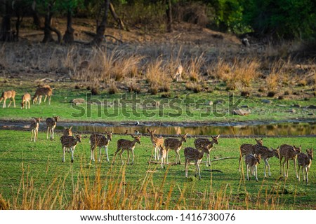 Alert Spotted deer herd after an alarm call by a sambar deer in rajbaug lake at Ranthambore National Park, India #1416730076