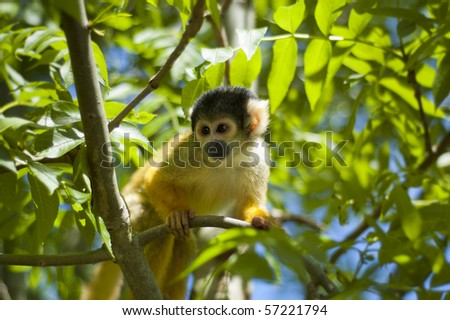 Alert squirrel monkey, sitting on a branch and looking at some unknow danger