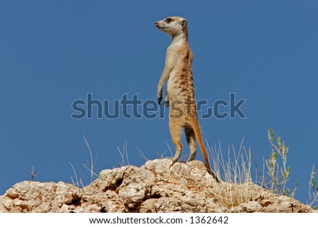 Alert suricate or meerkat (Suricata suricatta) on the lookout, Kalahari, South Africa
