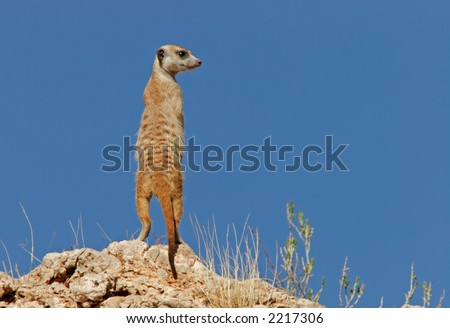 Alert suricate or meerkat (Suricata suricatta) on the lookout, Kalahari, South Africa