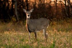 Alert White Tail Deer, side evening lighting, autumn