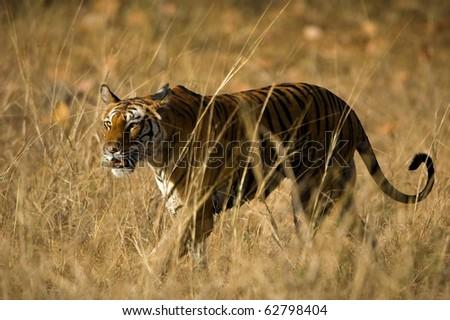 Alert wild Bengal tiger walking on short dry grass in Bandhavgarh  national park