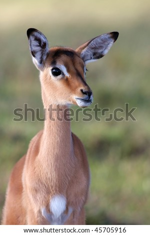 Alert young impala antelope lamb with large ears - stock photo