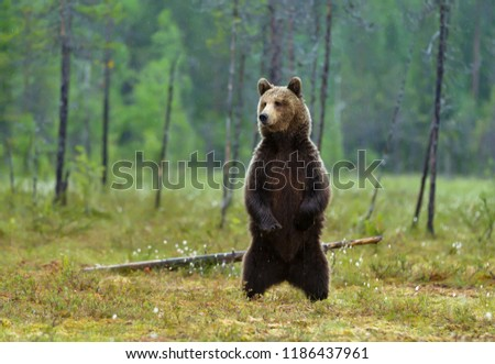 Alerted Eurasian brown bear standing on hind legs on a rainy day in swamp, Finnish forest. #1186437961