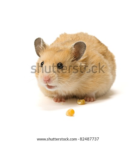 Alerted male hamster with corn seeds isolated on white background.