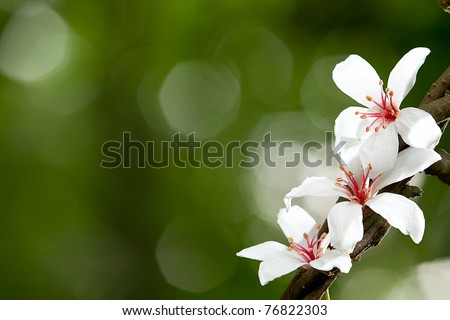 Aleurites Montana flower, white mix with nice background - stock photo