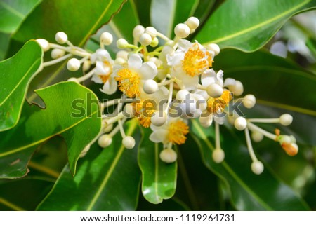 Alexandrian Laurel flower. (Calophyllum inophyllum) #1119264731