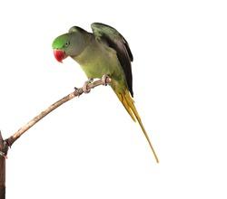 Alexandrine Parakeet Female