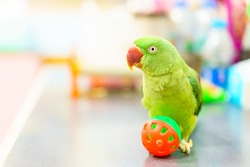 Alexandrine Parakeet, Green parrot with red mouth playing ball on the table.