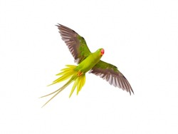 Alexandrine Parakeet (Psittacula eupatria ) bird flying on isolated background.