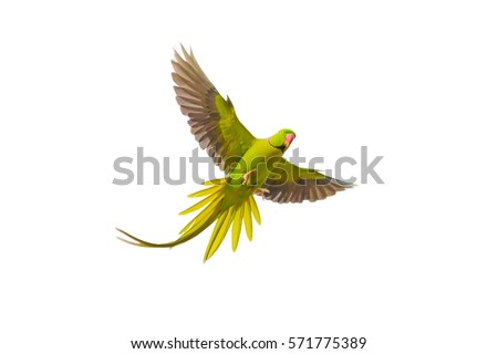 Alexandrine Parakeet (Psittacula eupatria ) bird flying on isolated background. #571775389