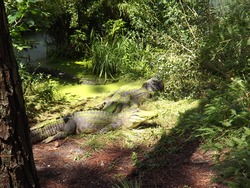 algae covered alligators at animal park