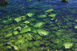 Algae-covered stones in the sea,close-up of green sea moss.