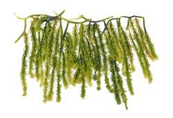 Algae grape bunch healthy food on white backgrond.