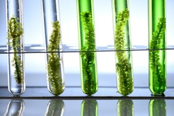 Algae seaweed in science experiments, laboratory research