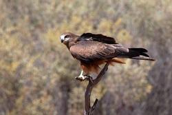 Alice Springs Australia, falco berigora or brown falcon perched on tree branch with blurred background