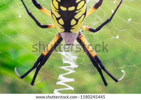 Alien Like Black and Yellow Garden Spider belongs to the genus Argiope family Araneidea.