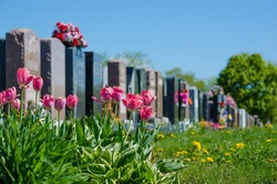 Aligned tombstones in a cemetery with pink tulips in front of the headstones.