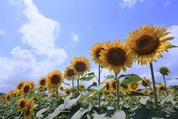 Alignment of sunflowers in full bloom