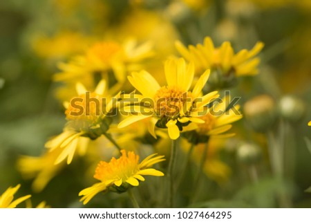 Alishan chrysanthemums cute yellow flowerschrysanthemum arisanense alishan chrysanthemums cute yellow flowerschrysanthemum arisanense mightylinksfo