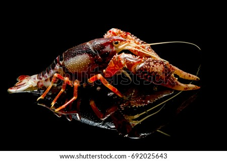 alive; animal; aquarium; lobster; pet; wildlife; procambarus; fauna; red; shellfish; shrimp; specie; clarkii; claw; colorful; crayfish; farm; fresh; ghost; tank; underwater; antenna