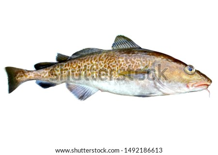 Alive Codfish (Pacific Cod, Gadus macrocephalus) isolated on white background.