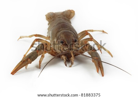 alive crayfish isolated on white