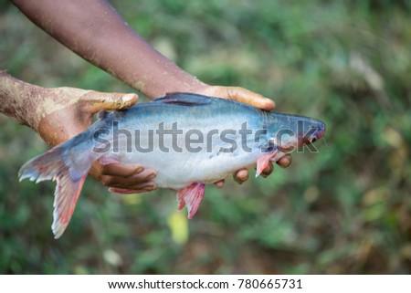 Alive freshwater snake fish #780665731