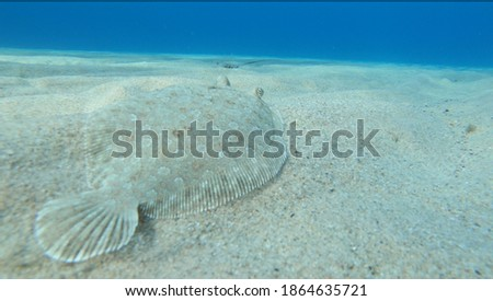 Alive sole fish swimming on a sandy surface underwater in Ikaria Foto d'archivio ©